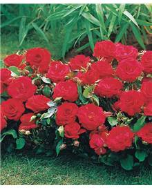 15 Mini-rosiers 'Randilla' rouges