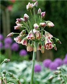 Allium de Bulgarie